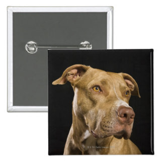 Portrait of red nose pitbull with black 15 cm square badge
