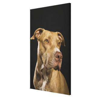 Portrait of red nose pitbull with black canvas print