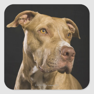 Portrait of red nose pitbull with black square sticker