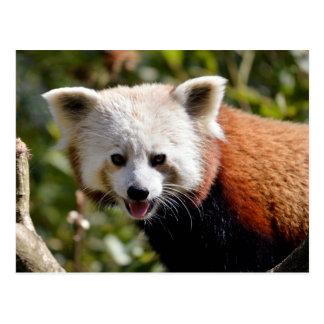 Portrait of red panda postcard
