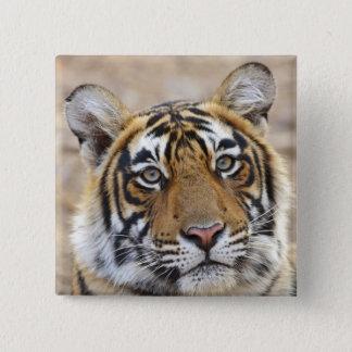 Portrait of Royal Bengal Tiger, Ranthambhor 15 Cm Square Badge
