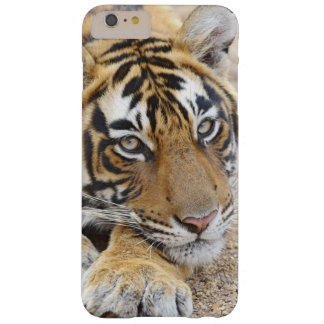 Portrait of Royal Bengal Tiger, Ranthambhor 4 Barely There iPhone 6 Plus Case