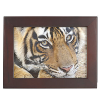 Portrait of Royal Bengal Tiger, Ranthambhor 4 Keepsake Box