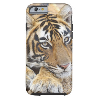 Portrait of Royal Bengal Tiger, Ranthambhor 4 Tough iPhone 6 Case