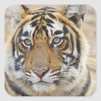 Portrait of Royal Bengal Tiger, Ranthambhor 6 Square Sticker