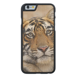 Portrait of Royal Bengal Tiger, Ranthambhor Carved Maple iPhone 6 Case