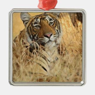 Portrait of Royal Bengal Tiger, Ranthambhor Christmas Ornament