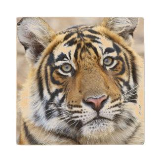 Portrait of Royal Bengal Tiger, Ranthambhor Wood Coaster