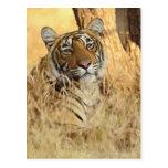 Portrait of Royal Bengal Tiger, Ranthambhor Postcard