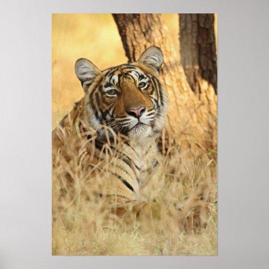 Portrait of Royal Bengal Tiger, Ranthambhor Poster