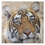 Portrait of Royal Bengal Tiger, Ranthambhor Tile