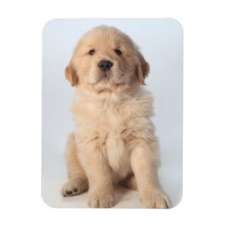 Portrait of six week old golden retriever puppy. rectangular photo magnet