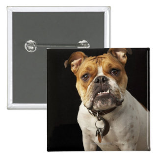 Portrait of tan and white bulldog with collar 15 cm square badge