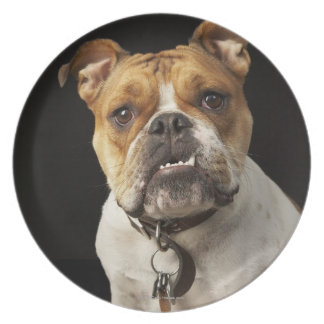 Portrait of tan and white bulldog with collar dinner plate