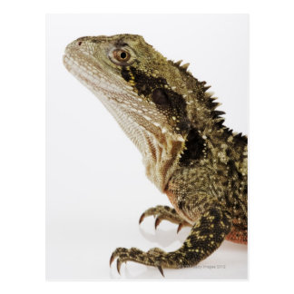 Portrait of this arboreal agamid species native postcard