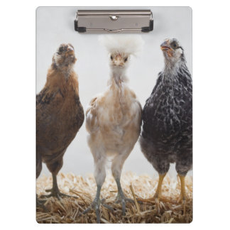 Portrait of Three Pet Chickens Looking Forward Clipboard