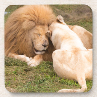 Portrait of Timbavati White lion male and female Beverage Coasters