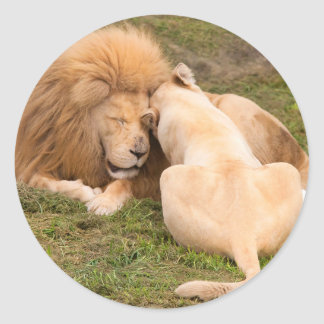 Portrait of Timbavati White lion male and female Round Sticker