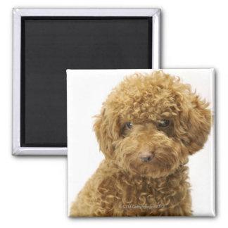 Portrait of Toy Poodle Square Magnet