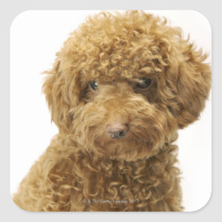 Portrait of Toy Poodle Square Sticker