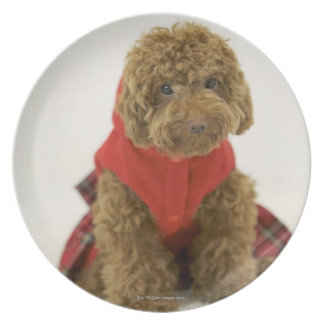 Portrait of Toy Poodle wearing cloth sitting Plate