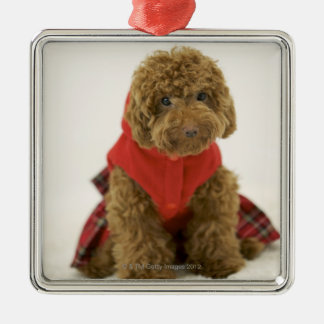 Portrait of Toy Poodle wearing cloth sitting Silver-Colored Square Decoration