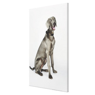 Portrait of Weimaraner dog Canvas Print