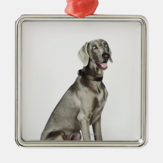 Portrait of Weimaraner dog Christmas Ornament