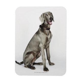 Portrait of Weimaraner dog Rectangular Photo Magnet