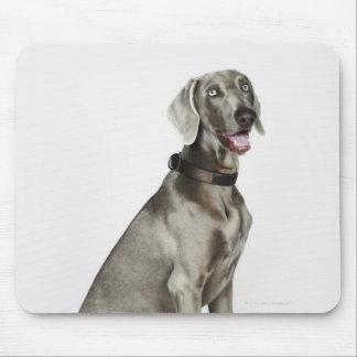 Portrait of Weimaraner dog Mouse Mat