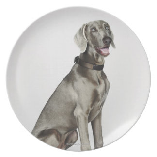Portrait of Weimaraner dog Plate