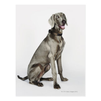 Portrait of Weimaraner dog Postcard