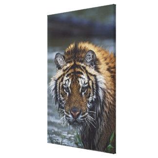 Portrait Of Wet Siberian Tiger Canvas Print
