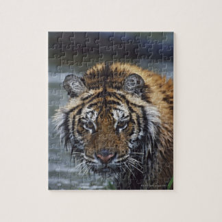 Portrait Of Wet Siberian Tiger Jigsaw Puzzle