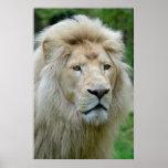 Portrait of white lion poster