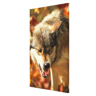 Portrait of wolf growling canvas print