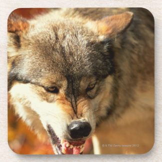 Portrait of wolf growling drink coaster