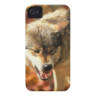 Portrait of wolf growling iPhone 4 cover