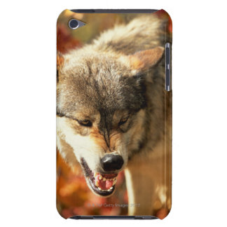 Portrait of wolf growling iPod touch cover