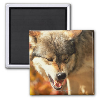Portrait of wolf growling square magnet