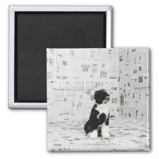 Portuguese Water Dog in room covered in Square Magnet