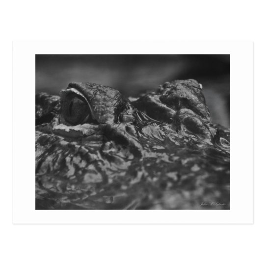 POST CARD American Alligator - North Carolina