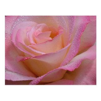 Post Card Beautiful Pink Rose