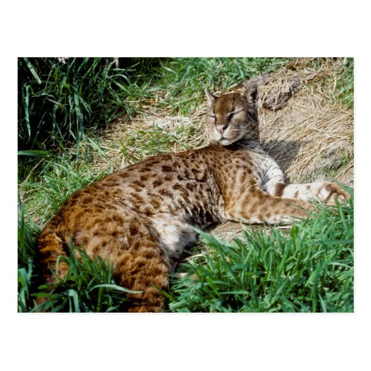 Postcard - African golden cat