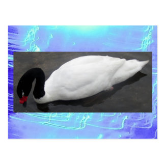 Postcard - Black-necked Swan