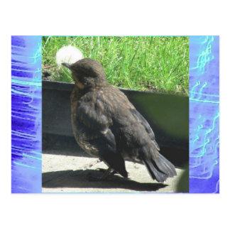 Postcard - Blackbird