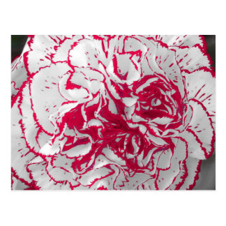 Postcard - Carnation in Red & White