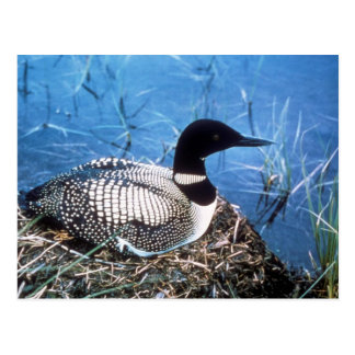 Postcard /  Common Loon on Nest
