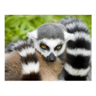 Postcard - Cute Lemur Stripey Tail