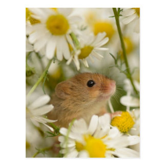 Postcard - Cute Mouse amoung the Daisy's